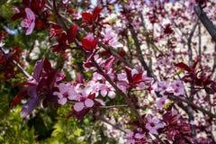 Крупный план миндального дерева в цветени с цветком цветет небесно-голубой пинк b стоковые фото