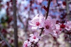 Крупный план миндального дерева в цветени с цветком цветет небесно-голубой пинк b стоковые фотографии rf