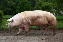 Крупный план могущественной одомашниванной мужской свиньи самца оленя против зеленого natur Стоковая Фотография