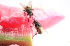 Крупный план мух Стоковая Фотография RF
