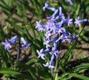 Крупный план надушенного голубого гиацинта цветет в саде С чудесным запачканным влиянием предпосылки, экземпляр-космос стоковое изображение