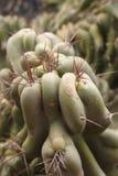Крупный план на большом ярком ом-зелен кактусе с острыми шипами Стоковые Изображения