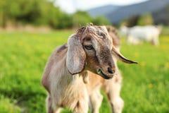 Крупный план на молодом коричневом ребенк козы пася, ел траву, солнце осветил b Стоковая Фотография RF