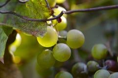 Крупный план некоторых виноградин chasselas стоковые фотографии rf