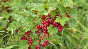 Крупный план нескольких групп сочных зрелых ягод красной смородины видеоматериал