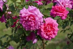 Крупный план нескольких ярких розовых роз с листьями на предпосылке Стоковое Изображение