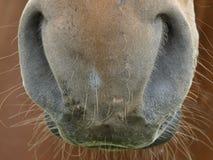 Крупный план ноздрей лошади стоковая фотография rf