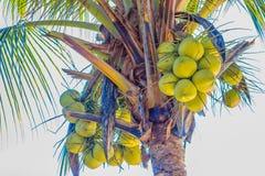 Крупный план обильно молодого зеленого кокоса приносить на кокосовой пальме стоковое изображение rf