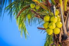Крупный план обильно молодого зеленого кокоса приносить на кокосовой пальме стоковые изображения rf