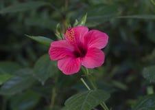 Крупный план одиночного красивого красного гибискуса зацветает в Италии Стоковые Фото