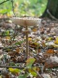 Крупный план одиночных съестных гриба парасоля или procera macrolepiota растя на земле леса, Берлине, Германии Стоковая Фотография RF