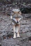 Крупный план одичалого волка в лесе в Германии Стоковое Фото