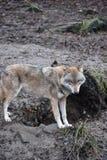 Крупный план одичалого волка в лесе в Германии Стоковые Фотографии RF