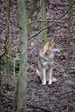 Крупный план одичалого волка в лесе в Германии Стоковые Фото