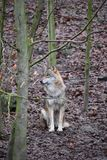 Крупный план одичалого волка в лесе в Германии Стоковое Изображение RF