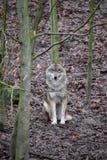 Крупный план одичалого волка в лесе в Германии Стоковая Фотография