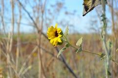 Крупный план одичалого солнцецвета в поле Стоковое Изображение RF