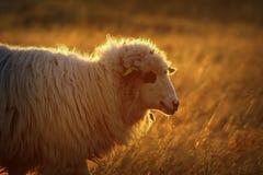 Крупный план отечественных овец в оранжевом свете Стоковое Изображение RF