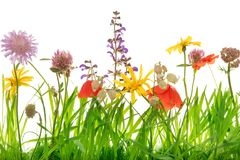 Крупный план от луга полевого цветка, белая предпосылка стоковое изображение