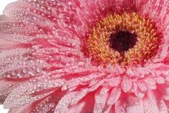 крупный план падает вода цветка розовая Стоковое фото RF