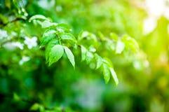 Крупный план падения воды на зеленых лист Стоковые Фото
