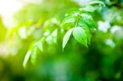 Крупный план падения воды на зеленых лист Стоковые Фотографии RF