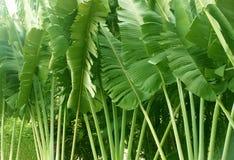 Крупный план пальм Ravenala путешественников в саде стоковое фото rf
