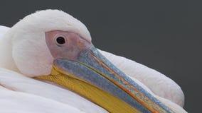 Крупный план пеликана головной сток-видео