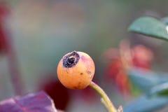 Крупный план плода шиповника Стоковая Фотография RF