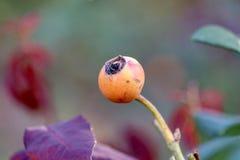 Крупный план плода шиповника Стоковое Фото