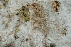 Крупный план поверхности раковины дерева См. картину ясно стоковые фотографии rf