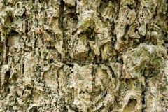 Крупный план поверхности раковины дерева См. картину ясно стоковое фото rf