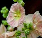 Крупный план покрашенных персиком цветков Hollyhock Стоковые Изображения RF