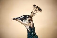 Крупный план портрета павлина с зелеными и голубыми пер и красивым головным убором стоковые изображения rf
