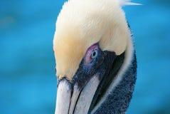 Крупный план портрета пеликана Стоковое фото RF
