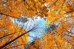 крупный план предпосылки осени красит красный цвет листьев плюща померанцовый Деревья осени удлиняя небо Сцена ландшафта леса осе Стоковые Фото