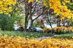 крупный план предпосылки осени красит красный цвет листьев плюща померанцовый Деревья двора с желтыми листьями, автомобилями Стоковые Фото