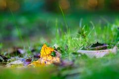 крупный план предпосылки осени красит красный цвет листьев плюща померанцовый Желтый цвет выходит предпосылка зеленой травы запач Стоковое Изображение RF