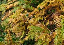 крупный план предпосылки осени красит красный цвет листьев плюща померанцовый стоковое изображение rf
