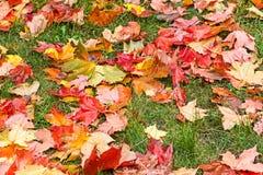 крупный план предпосылки осени красит красный цвет листьев плюща померанцовый выходит красный цвет клена Стоковое фото RF