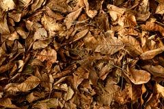 Крупный план предпосылки сухих листьев дерева грецкого ореха стоковое изображение