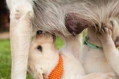 Крупный план прелестных щенят labrador сосать молоко стоковое фото