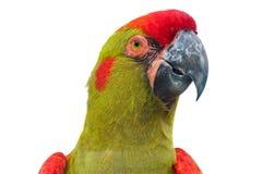 крупный план противостоял головной красный цвет macaw стоковые фотографии rf