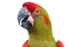 крупный план противостоял головной красный цвет macaw стоковое фото