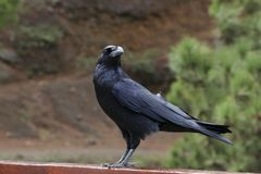 Крупный план птицы ворона в диком стоковое изображение rf