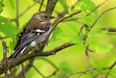 Крупный план птицы зяблика в периоде вложенности весны Стоковая Фотография