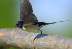Крупный план птицы ласточки амбара в периоде вложенности весны Стоковая Фотография RF