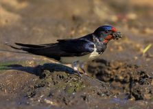 Крупный план птицы ласточки амбара в периоде вложенности весны Стоковое Изображение RF