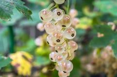 Крупный план пука зрелой белой смородины на кустарнике Стоковое Фото