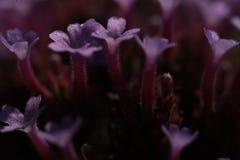Крупный план пурпурных цветков вербены стоковые фотографии rf
